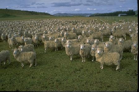 sheep 100s.jpg