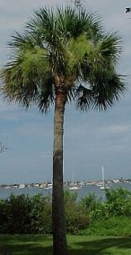 texas-sabal-palm.jpg