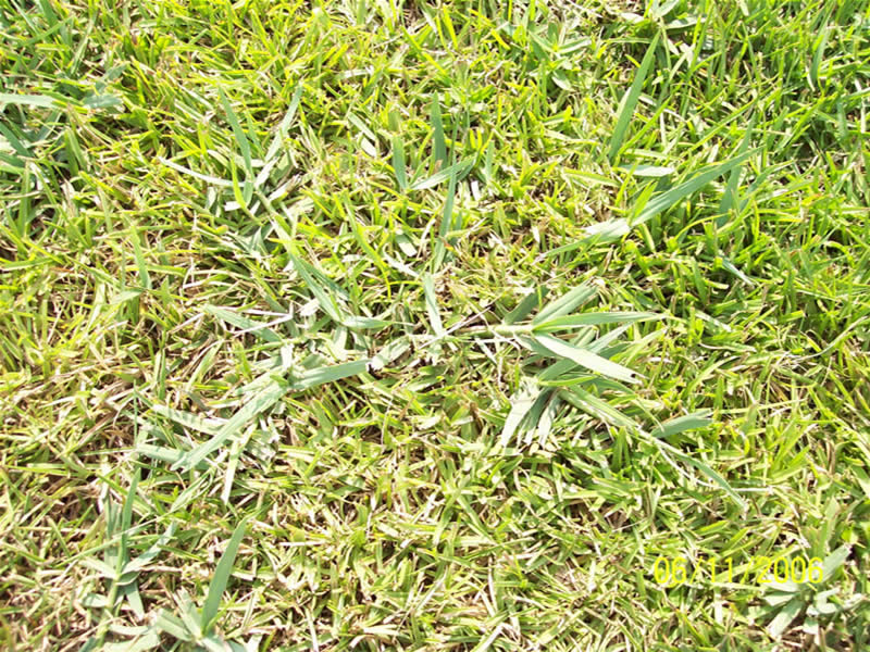 What does st augustine grass look like