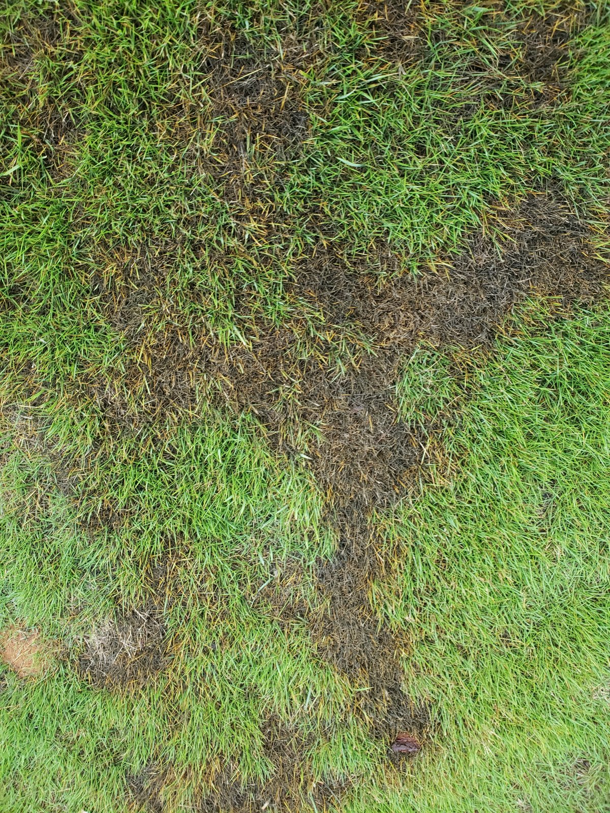 ZOYSIA GRASS PROBLEMS 08.19  20190812_073804 (002).jpg