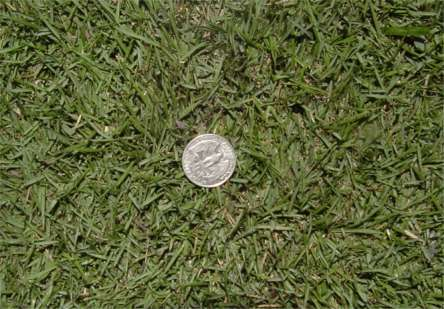 zoysia with coin.jpg